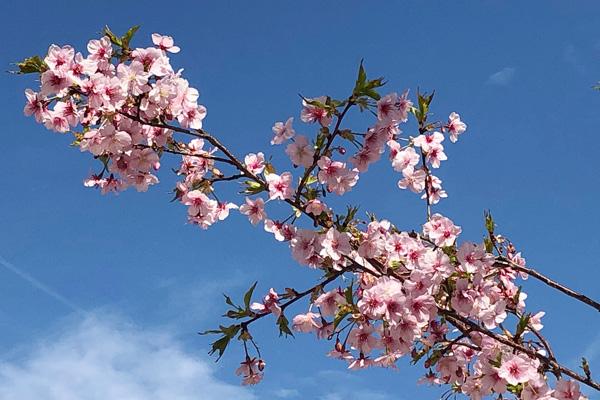 板橋駅の早桜