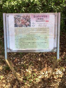 桜咲く ホット一息