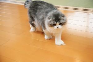 猫のつめにも安心な使用のフローリングを歩く猫
